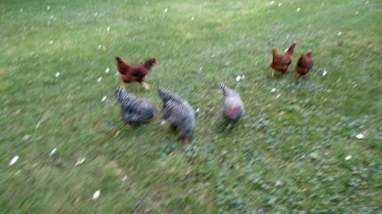 chickensfree
